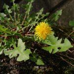 秋なのね。秋だけど。たんぽぽが咲いているの♪綿毛のドライフラワーを作るには、たんぽぽはの摘むタイミングが大切!